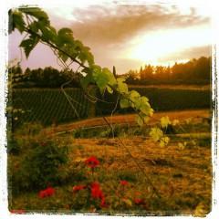 """Visite guidate, analisi sensoriali dell'uva, buon cibo e ottimo vino per i """"Tramonti in vigna"""" del Podere Riosto di Pianoro"""